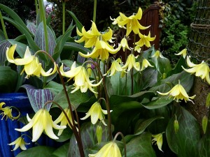 Erythronium Pagoda April 14th