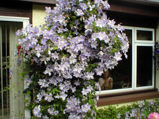 clematis blue angel flowers pinterest. Black Bedroom Furniture Sets. Home Design Ideas