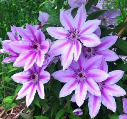 best climbing clematis archives profile of plants growing in our aberdeen and cheshire gardens. Black Bedroom Furniture Sets. Home Design Ideas