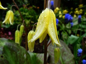 Erythronium Pagoda April 20th