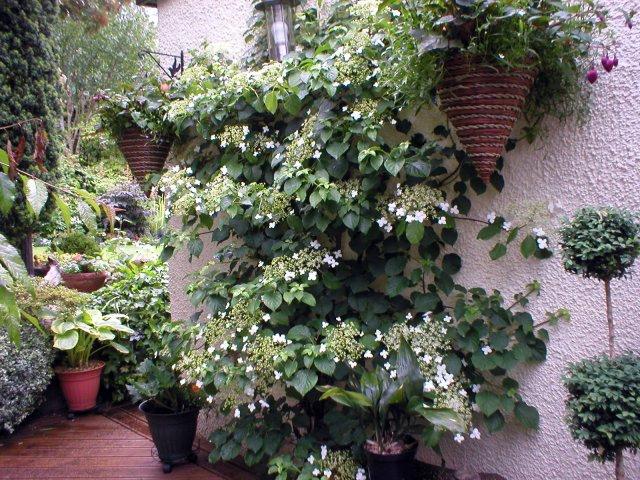 Hydrangea petiolaris aberdeen gardening - Hydrangea petiolaris ...