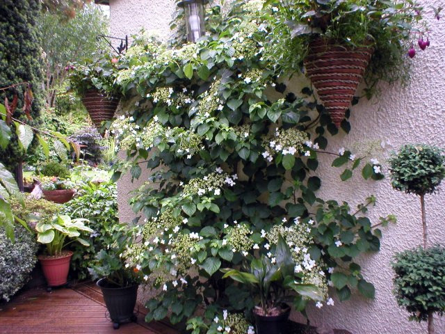 hydrangea petiolaris happens to be the best climber in our. Black Bedroom Furniture Sets. Home Design Ideas