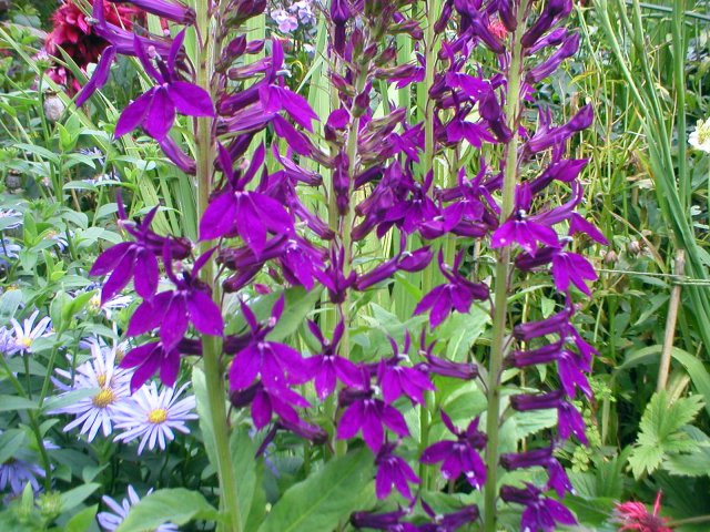 Lobelia Hadspen Purple