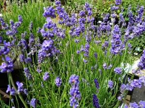 lavender angustifolia blue cushion (2)