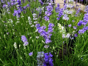 lavender angustifolia blue cushion