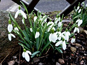 snowdrop Nivalis February 16th  (3)
