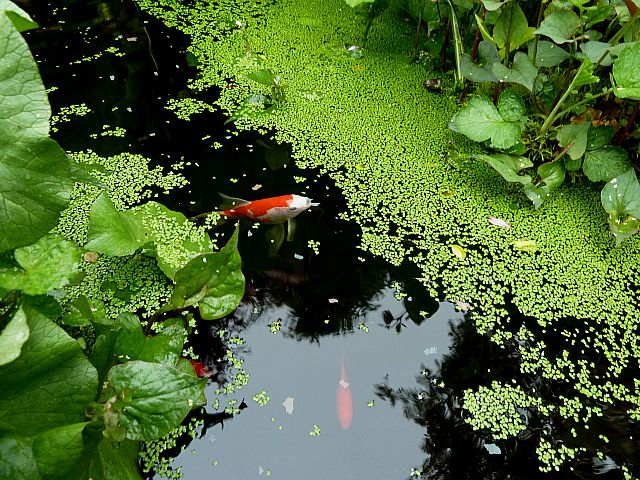 What 39 s in the garden pond may surprise some being so far north for Goldfish pond plants