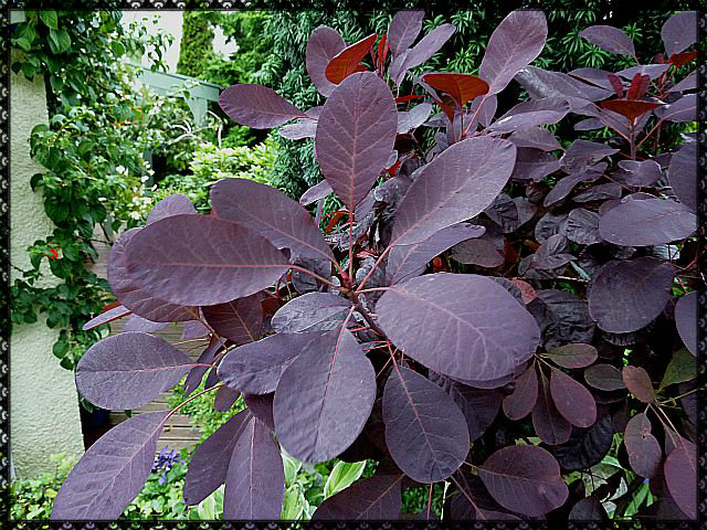 Standard Cotinus Royal Purple