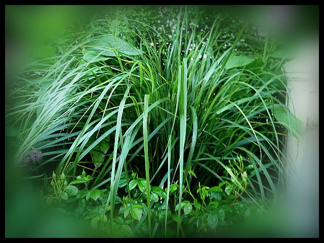 Ornamental grass archives profile of plants growing in for Hardy ornamental grasses