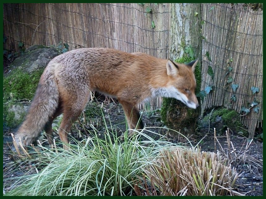 Fox injured (3)