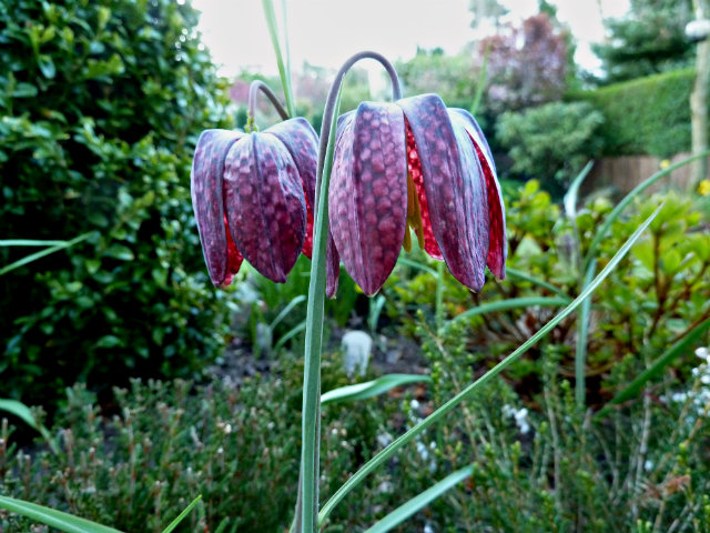 Fritilaria  Meleagris