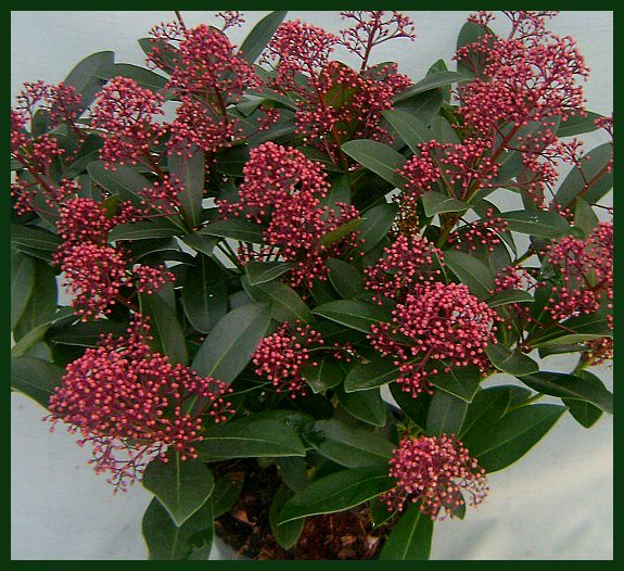 pruning skimmia japonica rubella in spring. Black Bedroom Furniture Sets. Home Design Ideas
