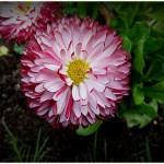 Bellis Habanera White with Red Tips