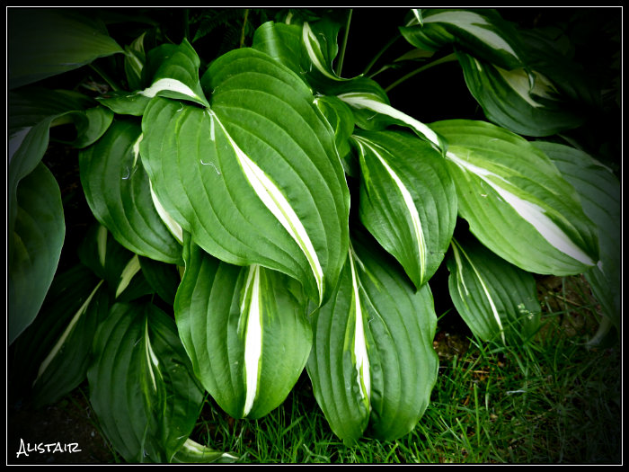 Hosta July 1st (8)