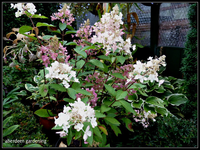 hydrangea paniculata pinky winky profile from aberdeen. Black Bedroom Furniture Sets. Home Design Ideas