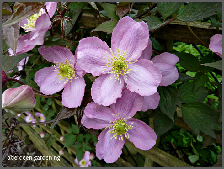 clematis montana mayleen a true stalwart north or south of