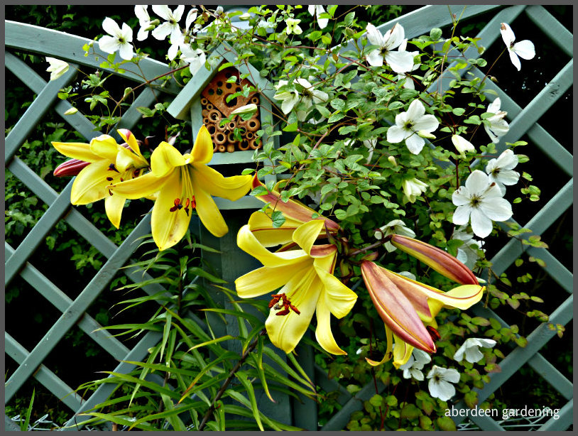 Trumpet Lily Golden Splendour