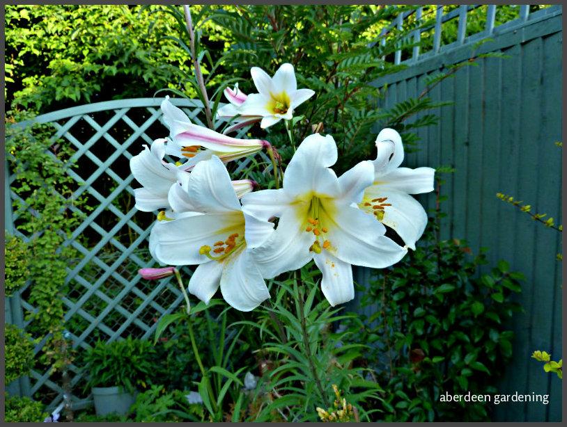 Trumpet Lily Regale (4)