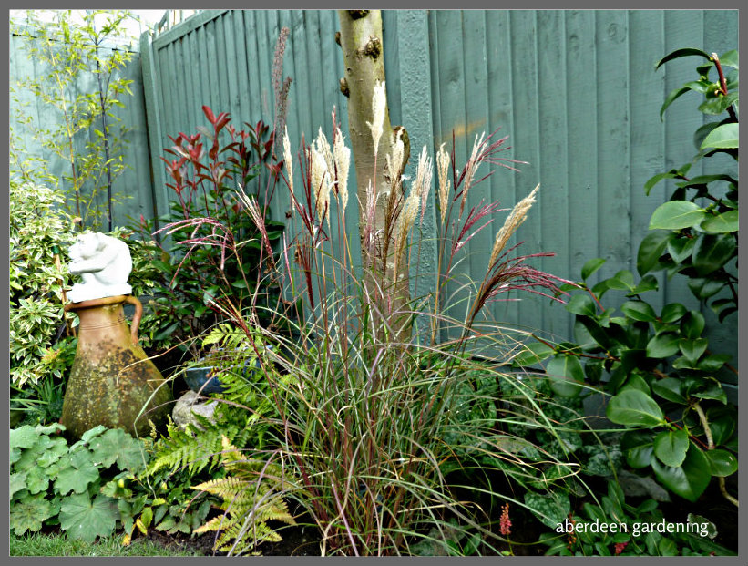 Miscanthus sinensis red chief (3)