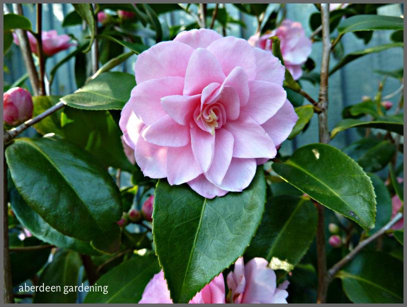 Camellia x williamsii 'Spring Festival  (2)