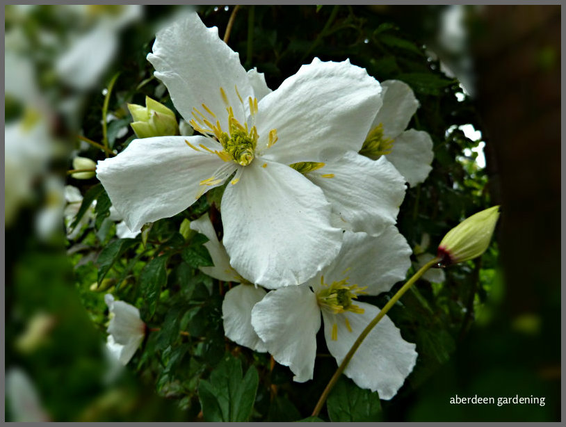 plant profile clematis montana grandiflora a vigous climber. Black Bedroom Furniture Sets. Home Design Ideas