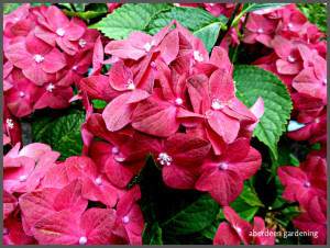 Hydrangea macrophylia ab green shadow