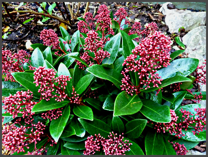 male plant skimmia japonica rubella profile of plants growing in our aberdeen and cheshire gardens. Black Bedroom Furniture Sets. Home Design Ideas