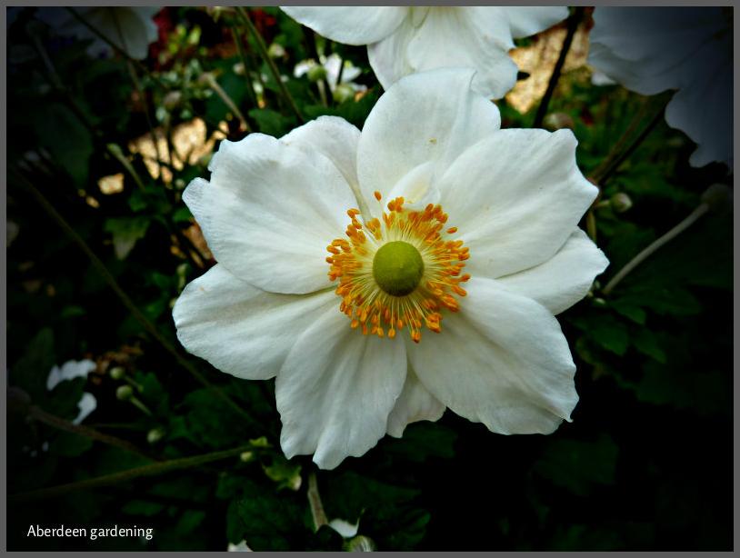 Japanese Anemone Honorine Jobert - Aberdeen Gardening