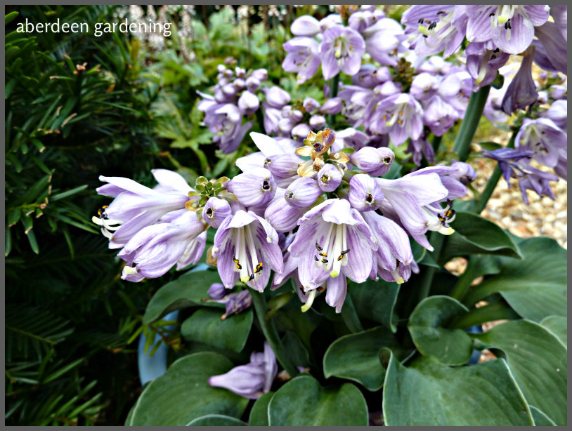 hosta-blue-mouse-ears-11