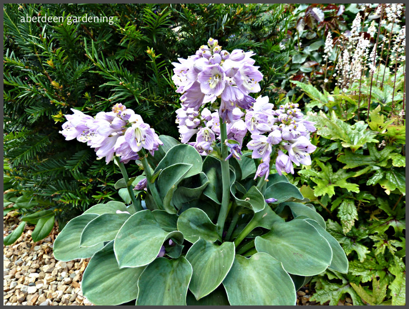 hosta-blue-mouse-ears-5