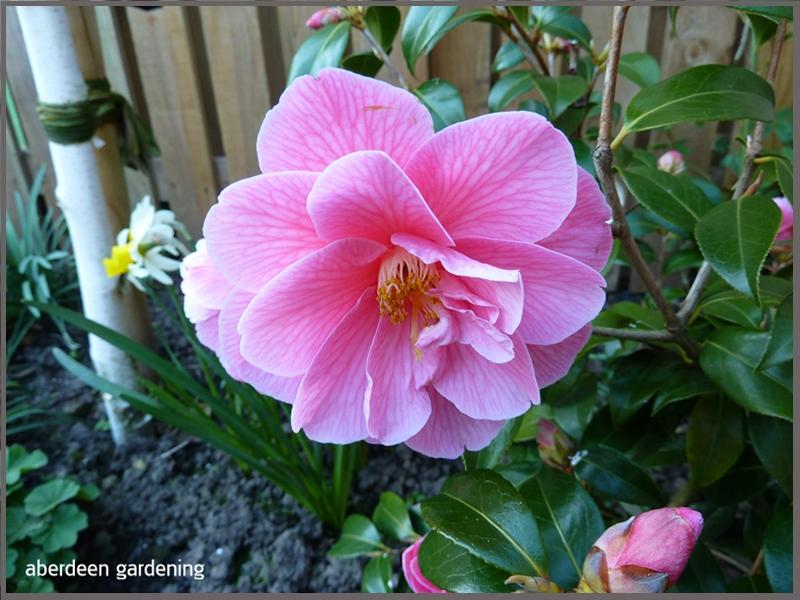 Camellia Williamsii Donation