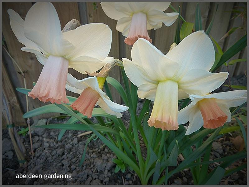 Daffodil Skype