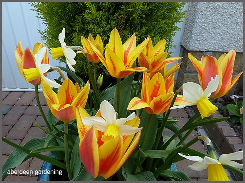 Tulip multi-headWinnipeg