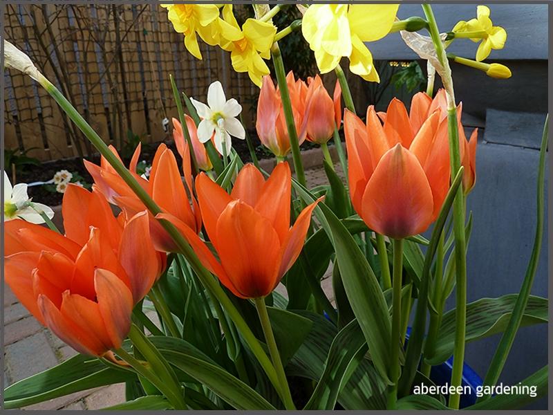 Tulip multi-headorange Toronto